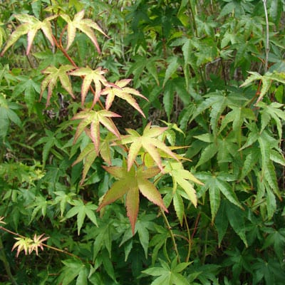 ACER Palmatum Small Leaf Japanese Maple