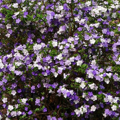 BRUNFELSIA Floribunda Large Yesterday Today and Tomorrow