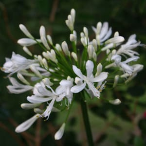 AGAPANTHUS Dwarf White Dwarf White Lily of the Nile