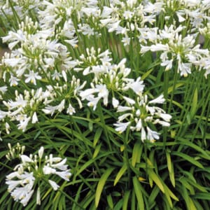 AGAPANTHUS Africanus Alba White Lily of the Nile